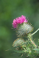 Canada Thistle (Cirsium arvense), Mt. St. Helens National Volcanic Monument, Washington, US
