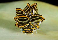 Butterfly Sea Slug, Cyerce nigra, in Tufi, Oro Province, Papua New Guinea, Pacific Ocean