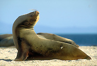 Galapagos Sea Lion, Zalophus californiensis. Marine mammal. Punta Espinosa, Fernandina Galapagos Islands Ecuador Pacific Ocean, 650 miles west of S. Am.