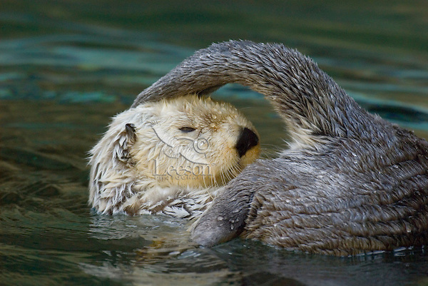 Sea Otter (Enhydra lutris) grooming--gland at base of tail provides oil for grooming