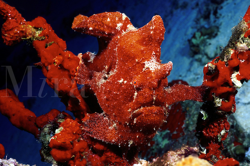 Commerson's frogfish [Antennarius commersonii] is the largest of the anglerfish family. This one is resting on, and imitating, a sponge covered stand of black coral. Hawaii.