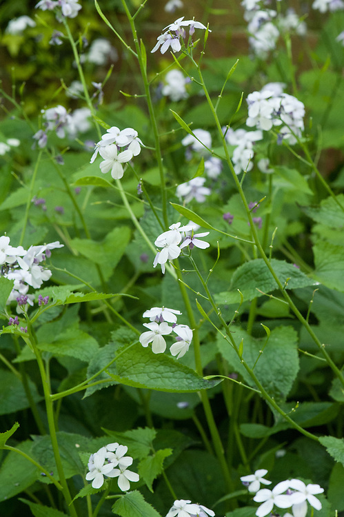 Lunaria rediviva, mid May. Commonly known as Perennial honesty.