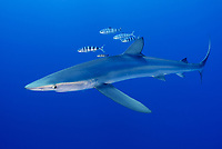 blue shark, Prionace glauca, with pilot fish, Naucrates ductor, Faial Island, Azores, Portugal, Atlantic Ocean