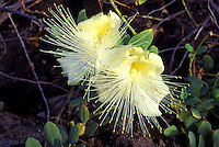 Maiapilo (Capparis sandwichiana) is a low growing coastal shrub, an endangered native Hawaiian plant, Kaupulehu