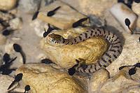 Sizillianische Ringelnatter, lauert unter Wasser auf Kaulquappen, Süditalienische Ringelnatter, Natrix natrix sicula, Natrix natrix ssp. sicula, Sicilian Grass Snake, is ambushing tadpoles. Sizilien, Italien, Sicily, Italy