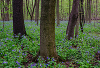 Virginia Bluebells (Mertensia virginica) cover the forest floor in a nature preserve in Will County, Illinois