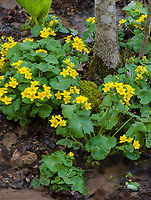 Marsh Marigolds bloom in May at Baxter's Hollow State Natural area in the Baraboo Hills in Central Wisconsin, Sauk County, Wisconsin