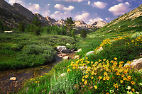 Daisies and Lamoille Creek. Ruby Mountains, Nevada.