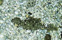 Seezunge, Solea solea, Solea vulgaris, common sole, Dover sole, or black sole, Plattfisch, Plattfische, flatfish