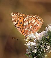 Zerene Fritillary (Speyeria zerene). Crane Flat area. Yosemite National Park. Mariposa Co., Calif.