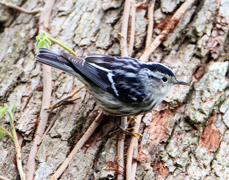 Female black-and-white warbler