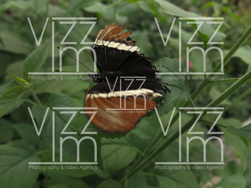 BOGOTÁ-COLOMBIA-15-01-2013. Mariposa Siproeta Epaphus, también llamada mariposa Chocolate. Butterfly Siproeta Epaphus or butterfly chocolate.(Photo:VizzorImage)