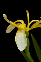 Iris foetidissima clear yellow form