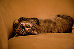 Tabby cat lying on her back on the couch, looking onto the camera