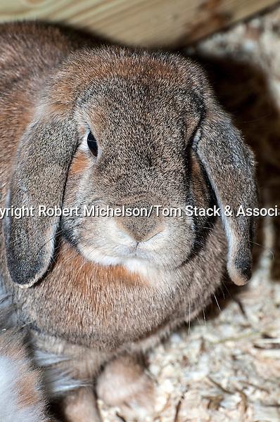 Mini Lop-ear Rabbit medium shot, vertical