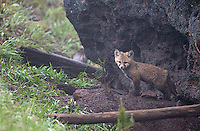 There were numerous red fox sightings during my spring adventures.  This den site was right next to the road.