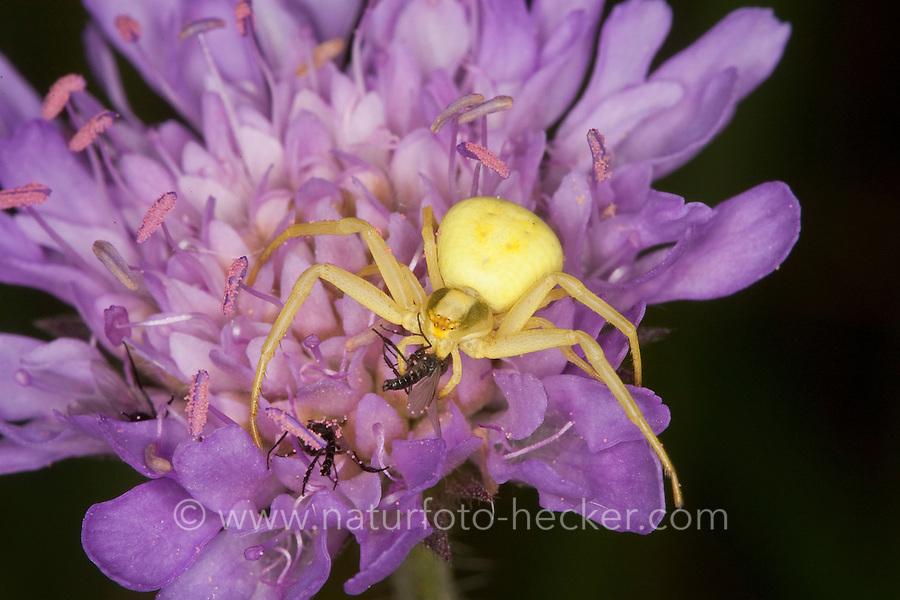 Veränderliche Krabbenspinne, Krabben-Spinne, Misumena vatia, Weibchen auf Blüte mit erbeuteter Fliege, goldenrod crab spider