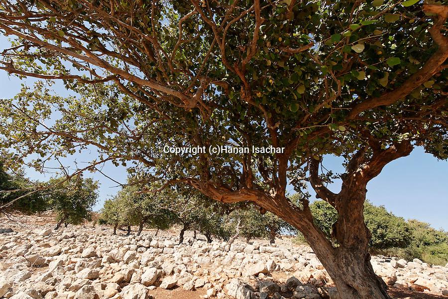 Israel, the Lower Galilee. Styrax tree (Styrax Officinalis) in Yodfat