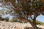 Israel, the Lower Galilee. Styrax tree (Styrax Officinalis) in Yodfat