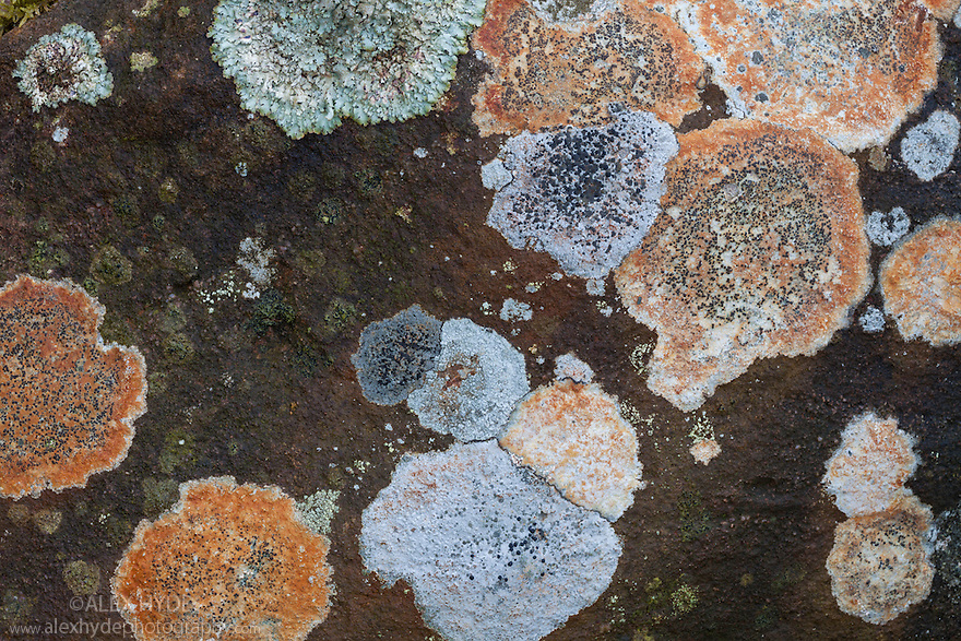 Lichens growing on gritstone boulder, Peak District National Park, Derbyshire, UK. May.