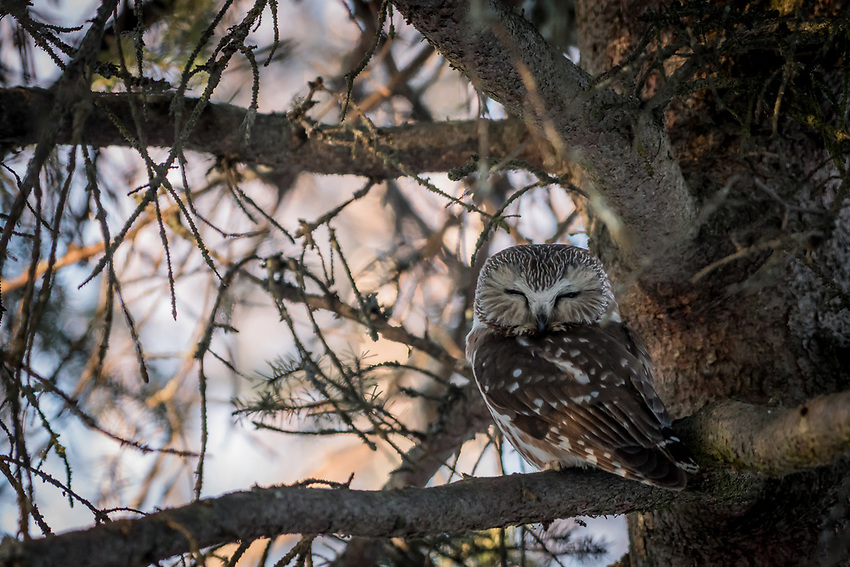 Male Saw Whet Owl near the nest box. Photo by James R. Evans.