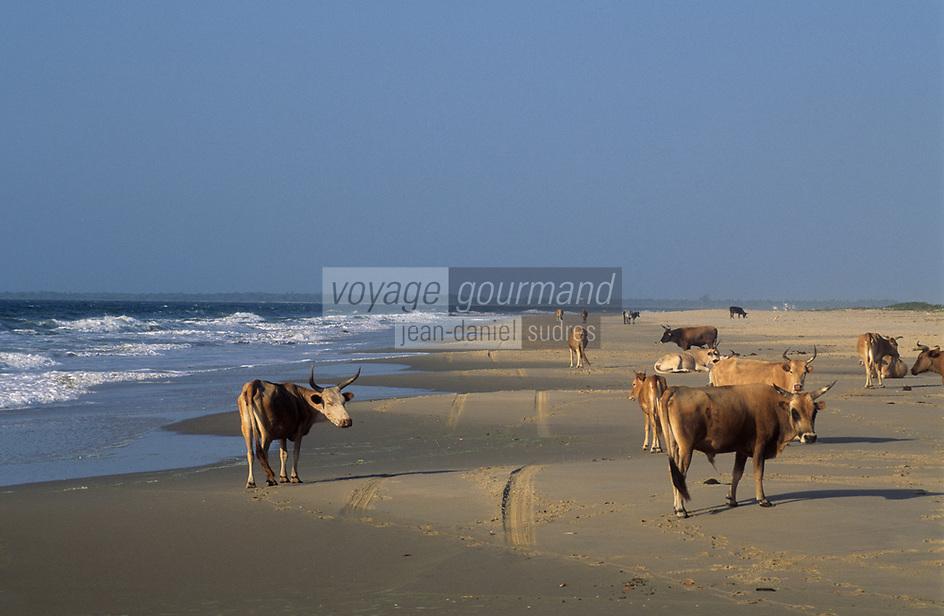 Afrique/Afrique de l'Ouest/Sénégal/Parc National de Basse-Casamance/Cap Skirring : Vaches sur la plage