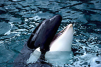 Killer Whale (Orcinus orca) surfacing along the Pacific West Coast of British Columbia, Canada