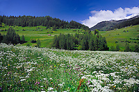 Alpine  spring flowers and grass in Alpine meadow, Nauders, Austrian, Italian border.