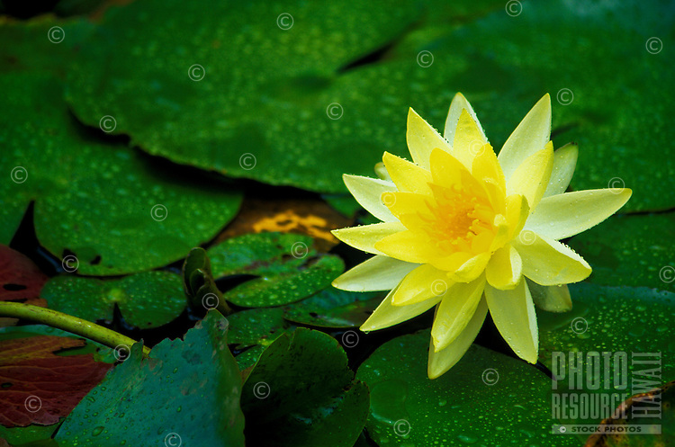 A beautiful yellow water lily.