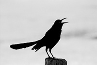 Death Valley,  Great Tailed Grackle, Spring 2018, 35mm Film