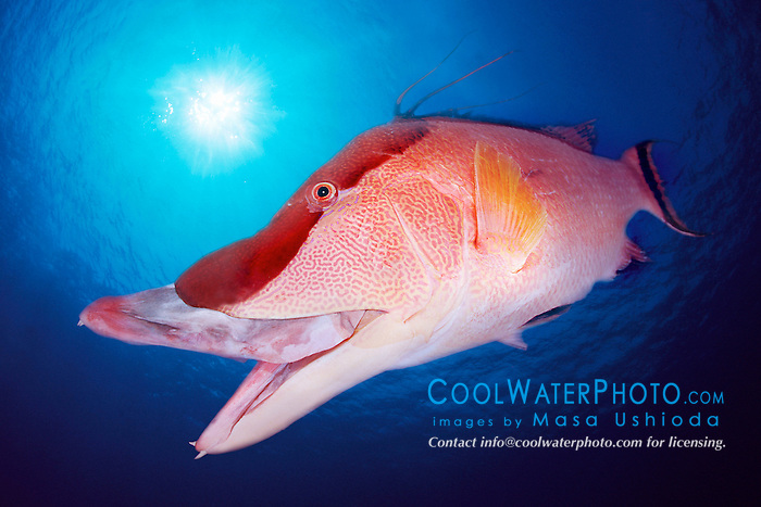 hogfish, adult, .Lachnolaimus maximus, .Middle Ground, Tampa, .Gulf of Mexico..