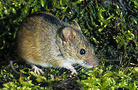 Brandmaus, Brand-Maus, Maus, Apodemus agrarius, Old World field mouse, striped field mouse