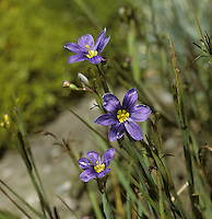BLUE-EYED GRASS Sisyrinchium bermudiana (Height to 20cm) is a hairless perennial with flattened, winged stems and narrow, basal leaves. The flowers are blue and 15-20mm across; they are borne in small, terminal clusters (Jul-Aug). It grows in damp grassland and is native to N and W Ireland; elsewhere in our region it is naturalised.
