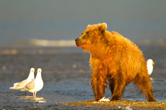 A coastal brown bear eats a salmon he caught while fishing in a creek, near the ocean, in Lake Clark National Park, Alaska.  Photo by Gus Curtis.