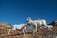 Dall sheep rams butting heads--dominance behavior.  Alaska. Fall.