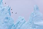 Eastern Greenland , ravens