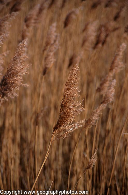 AE2CJB Marshland reedbeds on drained land at Hollesley Suffolk England