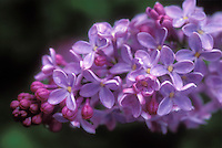 Syringa vulgaris bloom closeup, flowering fragrant common lilac blooming in spring May, purple with red buds