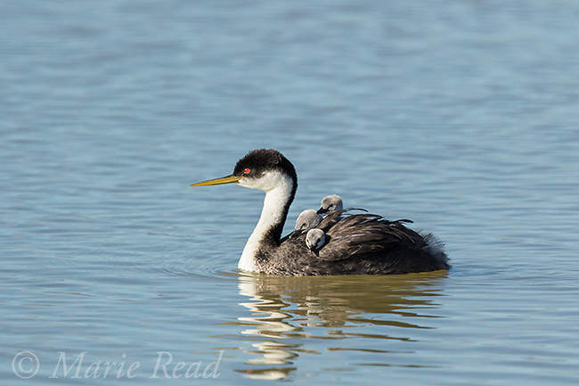 Western Grebe (Aechmophorus occidentalis) adult carrying three chicks on its back,Bear River Migratory Bird Refuge, Utah, USA