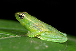 Glass Frog, Hyla punctata, Iquitos, Northern Peru, on leaf, green with red spots, arboreal , found in flooded forest areas, carnivorous, prey includes insects and any small creatures it can catch . . .South America....