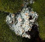Petaled Shingle Lichen (Fuscopannaria leucostictoides) growing on redwood bark. Long Ridge Open Space Preserve. San Mateo Co., Calif.
