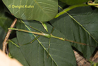 OR07-562z  Northern Walking Stick Diapheromera femorata