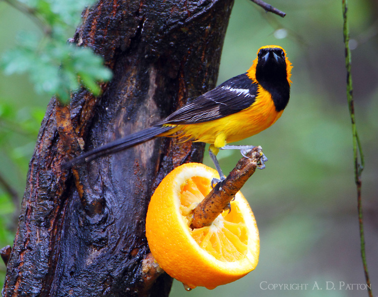 Adult male hooded oriole in the rain