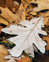 Small dots of water created by a fine misting rain cover an oak leaf already afloat in a small pond at the Morton Arboretum, DuPage County, Illinois