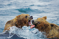 Coastal grizzly bear (Ursus arctos) arguing over salmon fishing rights.  McNeil River, Alaska.  Summer.