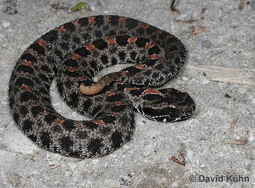 1230-0904  Dusky Pygmy Rattlesnake, Sistrurus miliarius barbouri  © David Kuhn/Dwight Kuhn Photography