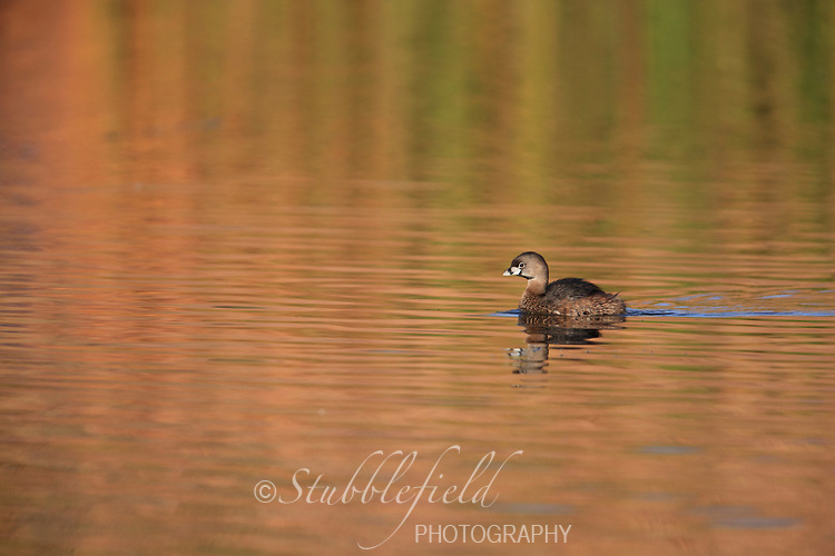 Pied-billed Grebe (Podilymbus podiceps podiceps), in breeding plumage at Papago Park in Phoenix, Arizona.