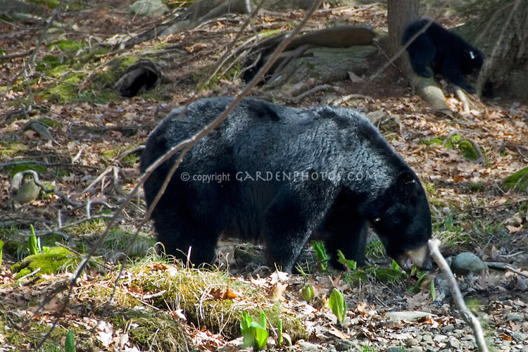 Black bears eating Symplocarpus foetidus foliage, skunk cabbage in early spring, in native woods, adult mother femal with tagged ear cub baby in background