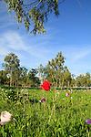 Israel, Jezreel Valley, Anemone flowers in Megiddo