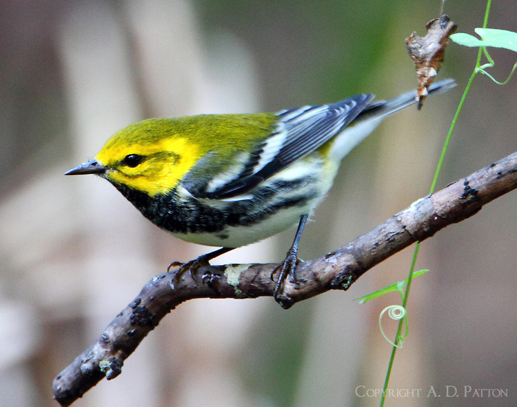 Adult male black-throated green warbler in fall migration
